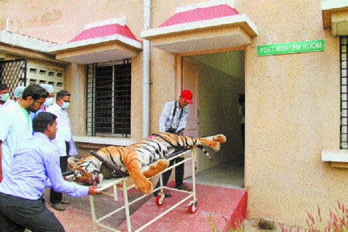 T1 tigress consigned to flames, celebration erupts in Ralegaon