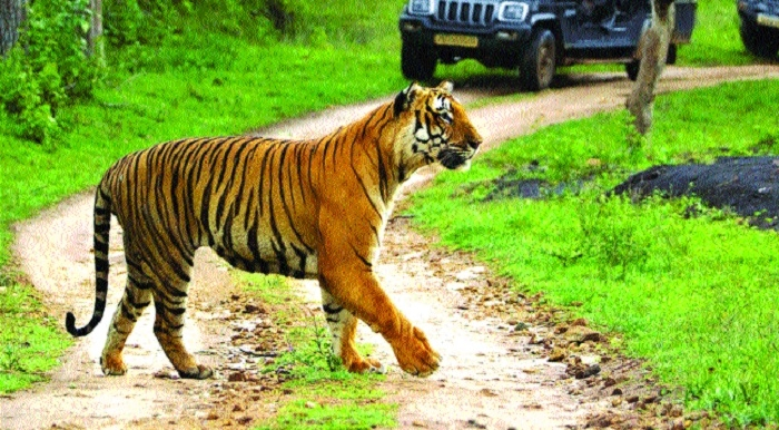 NTCA 'no' to increase tourists' influx in tiger reserves