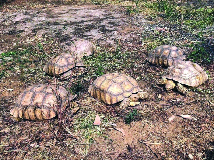 Two smugglers arrested with rare African tortoise of Sulcata species