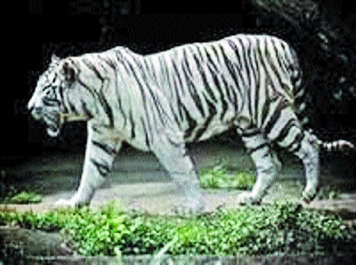 White tiger 'Vijay' found dead in Kanan Pendari zoo