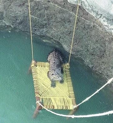 Maharashtra loses 80 leopards in a year; 25 in Vidarbha