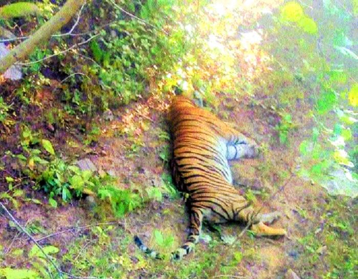 T-16 tiger found dead in Paoni