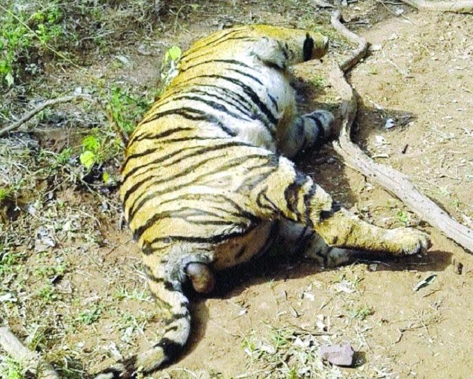 Tiger found dead in suspicious circumstances in Ratapani