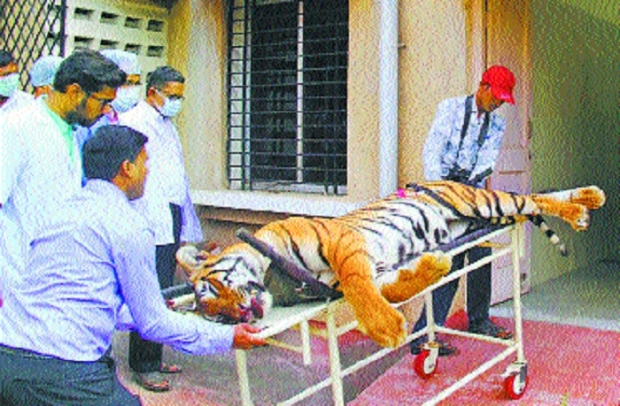 State Govt panel finds violation of SOP in T1 tigress' shooting