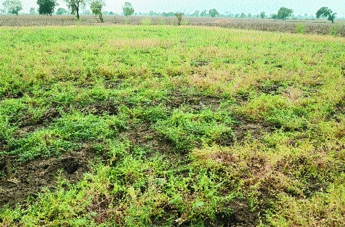 Crops in 1.25 lakh ha affected in Marathwada, Vid