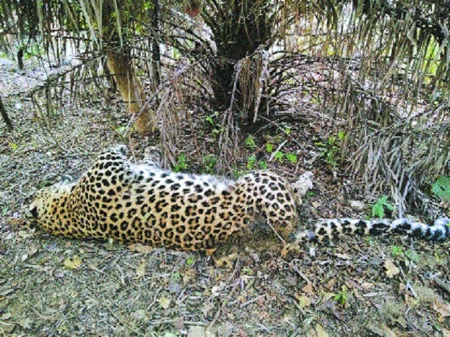Leopard electrocuted in Khapa Forest Range
