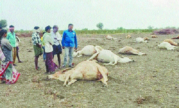 56 cows die under suspicious circumstances in Telangana