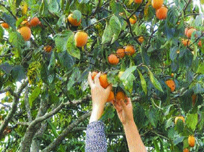 Of poetry and persimmons
