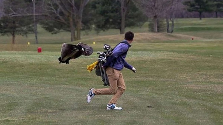 angry birds attack golfer