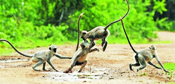 Forest Deptt gears up for sterilisation of monkeys