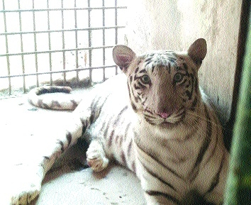 Maitri Bagh Zoo gifts pair of white tiger to Satna Safari