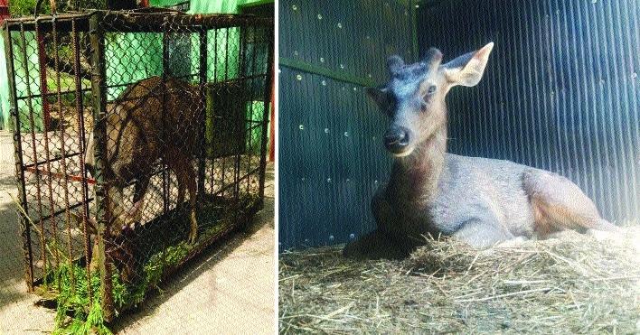 Maitri Bagh Zoo gifts pair of sambar to Mukundpur Safari