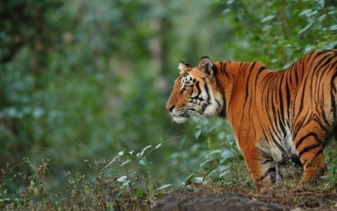 Limping tiger 'disappears', gives scare to foresters