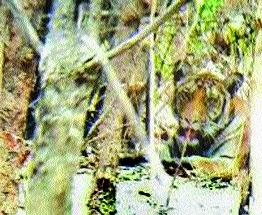 Finally, foresters locate limping tiger, to tranquilise it today