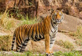 Tourist pressure affecting reproduction capacity of Bandhavgarh tigers!