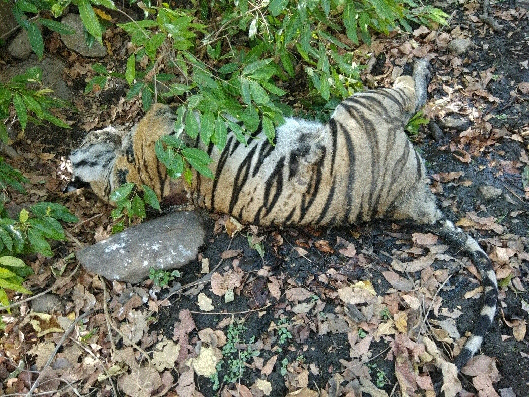 Carcass of tigress found in Kanha Tiger Reserve