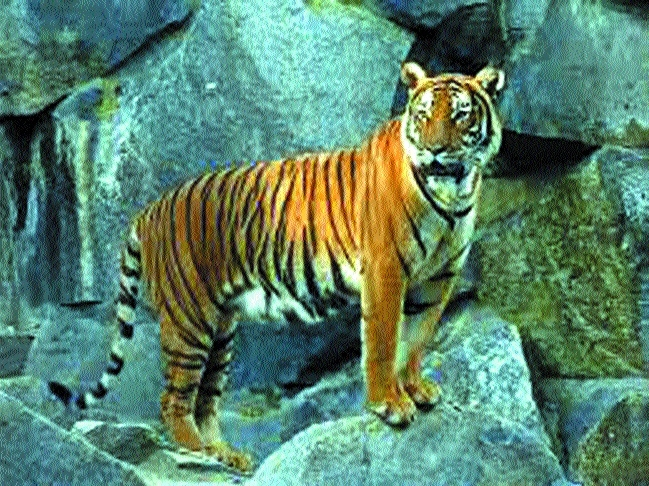 Nauradehi tiger radio collared successfully