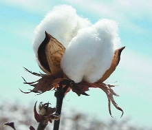 'Strong demand to lift cotton price by 8-10%'