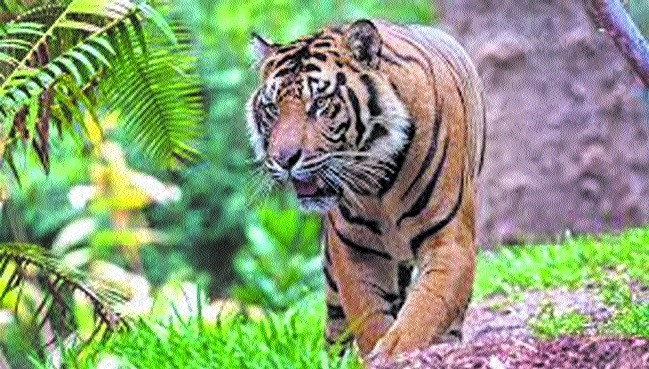 Foresters fear territorial fight as male tiger enters area of tigress, cubs