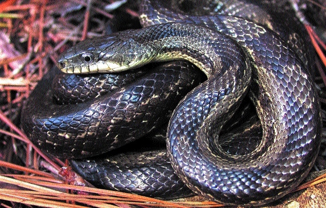 Snake sighting on rise in residential areas