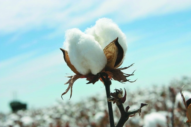 'Tight supply to keep cotton prices firm in FY19'