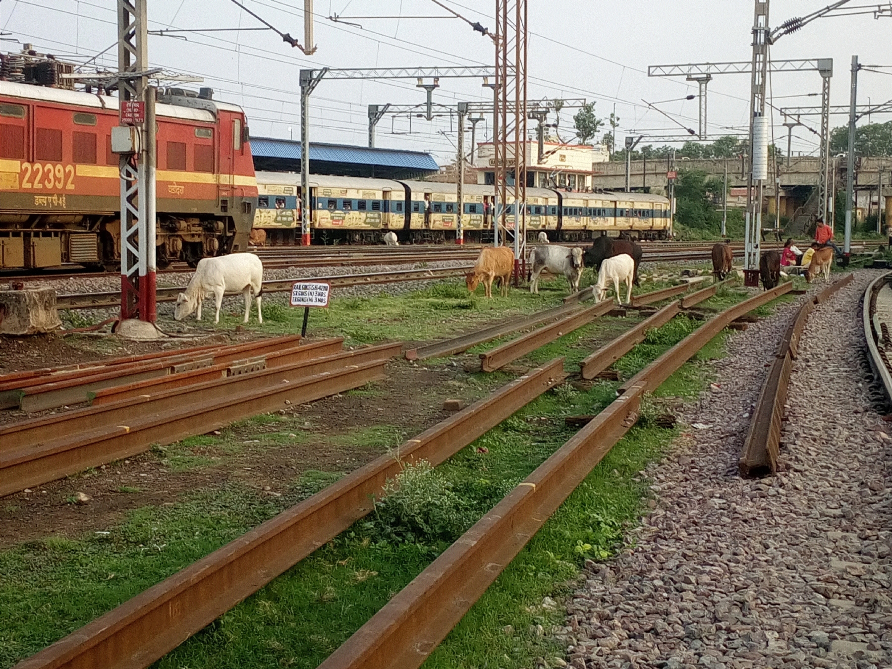 Railway tracks turn into grazing yard for stray cattle