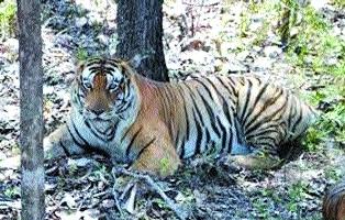 Tiger re-introduction plan at Nauradehi to get success