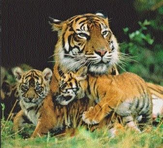 Tigress with 2 cubs sighted in Mendora; patrolling staff on strike