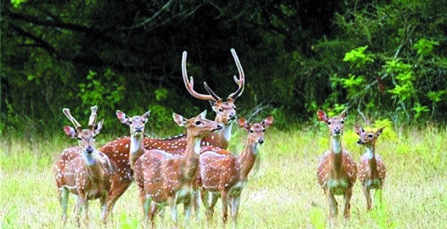 155 cheetals shifted to Nauradehi, 900 more to be translocated after monsoon