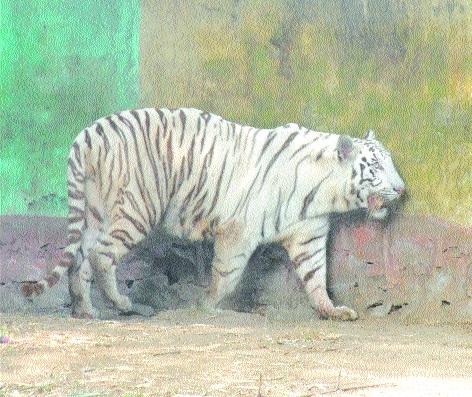 Jungle Safari Raipur asks pair of white tigers from Maitri Bagh Zoo
