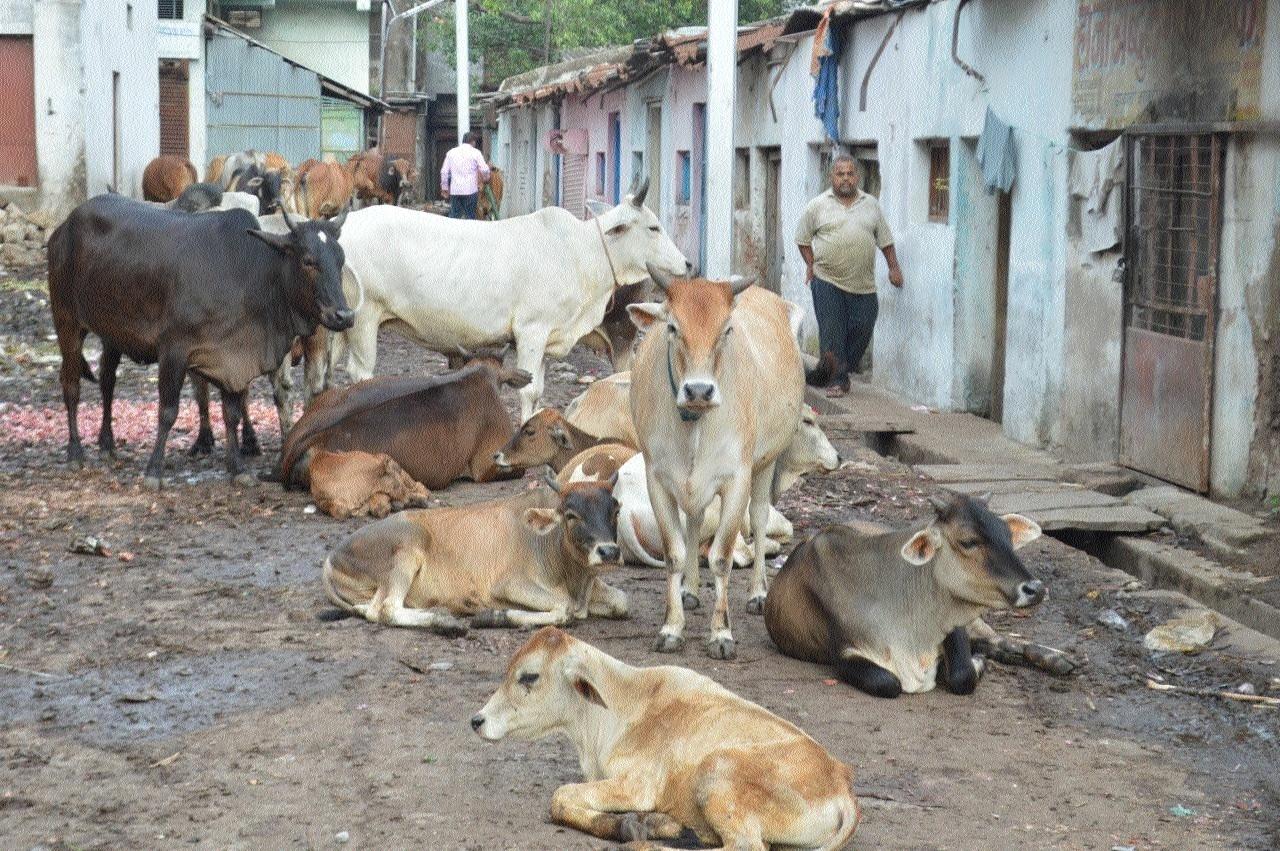 JMC fails to control menace of stray animals