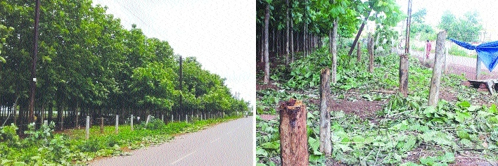 Tree pruning by power lines: CSPDCL cuts down 40 trees