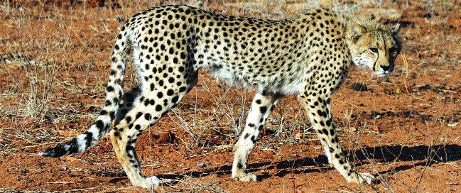 Fresh efforts by MP to get Cheetah from South Africa