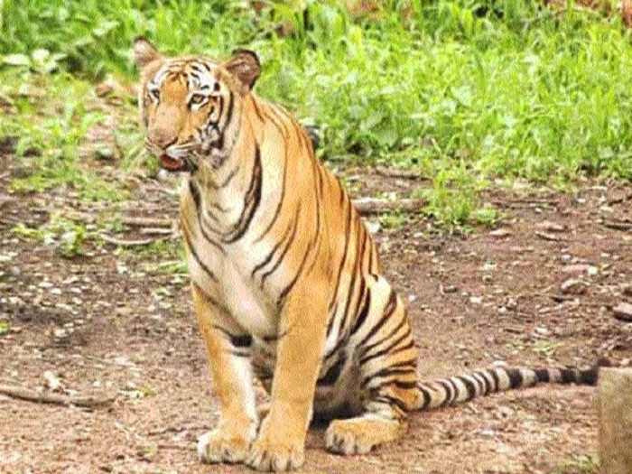 Tiger scare grips villages in Damoh