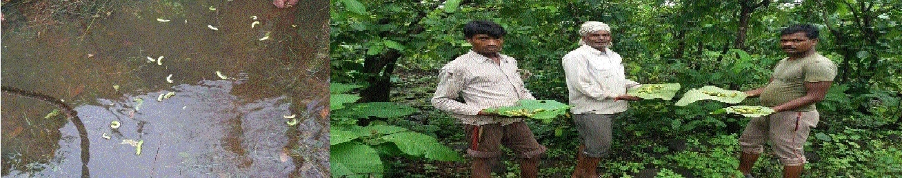 Rainfall destroys Tussar silk crop in Jhoteshwar