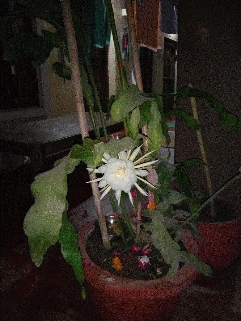 Rare Bramha Kamal blooms at MoS Jalam Singh Patel's residence