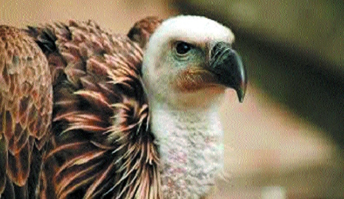 Census 2018-19 records 900 more vultures in State