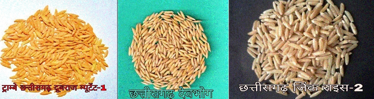 IGAU develops three new rice varieties