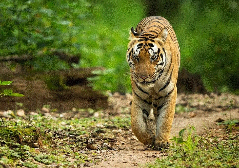 New tigress sighted in Balampur beat