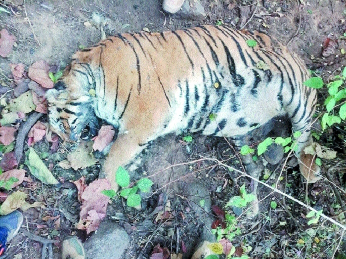 Tiger found dead in Chikhaldara forest