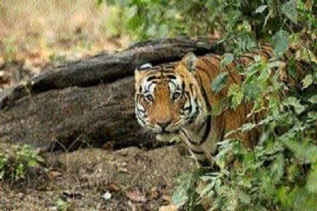 3 MP tiger reserves make it to UNESCO's list