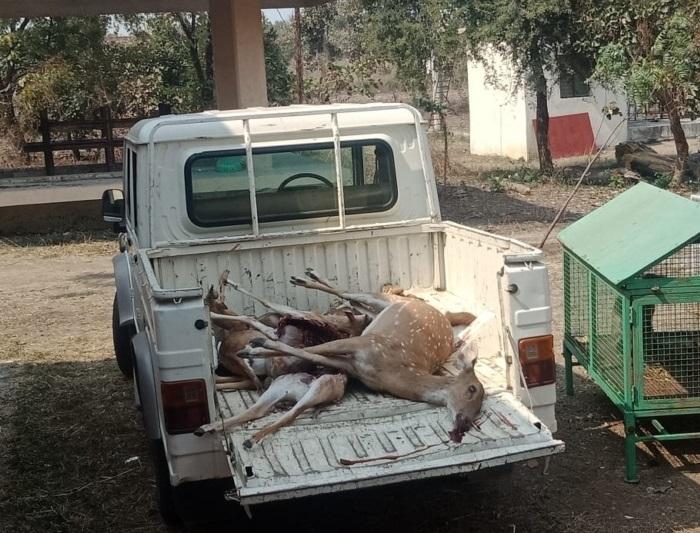 Leopard kills nine animals in Gorewada
