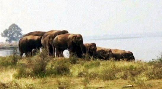 Elephant calf drowns in Samoda dam