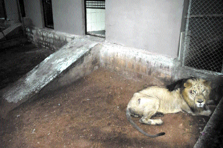 Pair of lions adjusting well in new abode