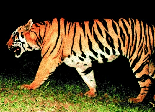 RT1 tiger_1H