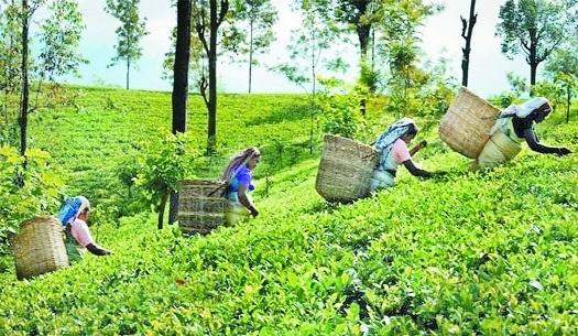 Tea exports_1