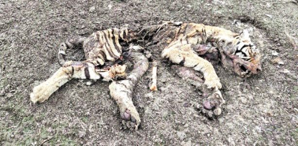 Cub's carcass found in Pench Tiger Reserve