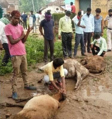 50 cows die_1