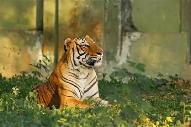 tigers_1H x W