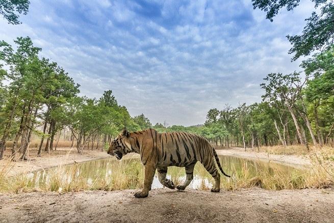 124 tigers_1H